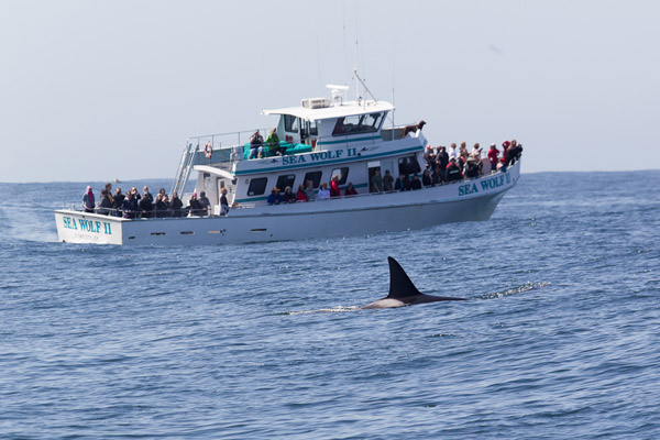 Killer Whale and Monterey Bay Whale Watch boat