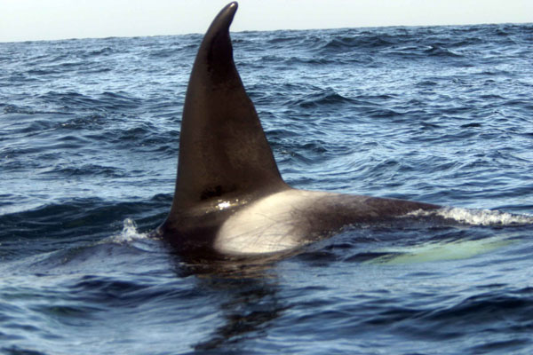 Example of killer whale identification by marks on their ...
