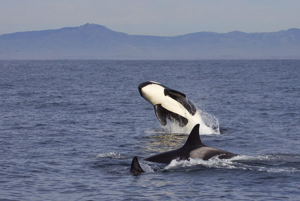 Killer whale breaching after successful dolphin hunt