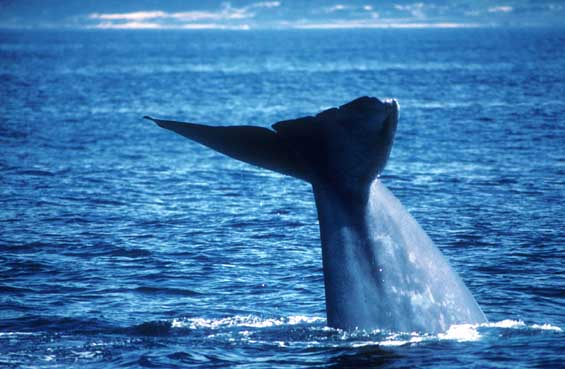 http://www.montereybaywhalewatch.com/images/BlueWhaleB028.jpg