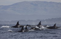 Killer Whale pod photo by Daniel Bianchetta