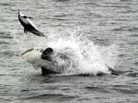 Killer Whale tossing dolphin into the air, photo by Lori Mazzuca