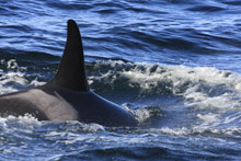 Killer Whale L55 in Monterey Bay
