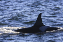 Killer Whale L5 in Monterey Bay