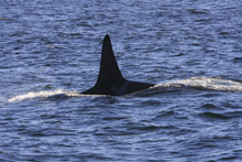 Killer Whale L79 in Monterey Bay