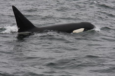 Killer Whale predation on Dall's Porpoise