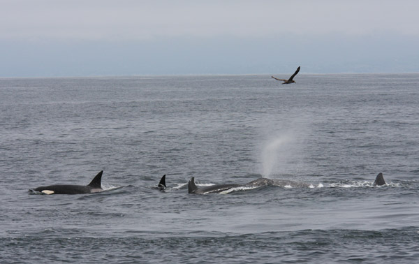 Killer Whale Predation on Gray Whale calf