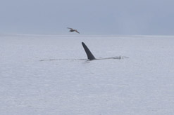 Albatross follows orca