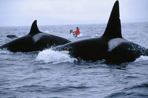 Nancy Black studying Killer Whales
