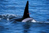 Killer whale darted for skin blubber sample, photo by Peggy Stap