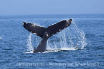Humpback Whale tail, photo by Melissa Galieti