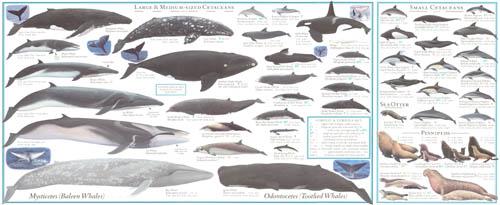 Marine mammals pictures - photo#24