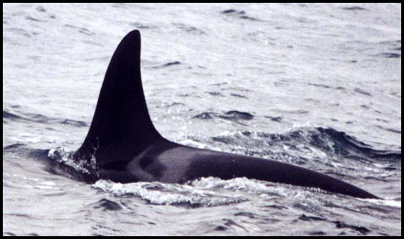 Killer Whales, Slide No. W01-09