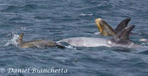 2 mothers and 2 baby Risso's Dolphins, photo by Daniel Bianchetta