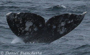 Gray Whale flukes with Killer Whale rake marks at upper left, photo by Daniel Bianchetta
