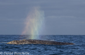 Gray Whale rainbow, photo by Daniel Bianchetta