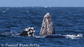 Gray Whale spy hopping, photo by Daniel Bianchetta