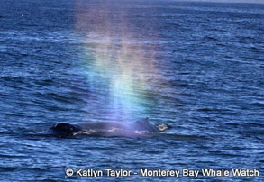 Humpback Whale with rainblow, photo by Katlyn Taylor
