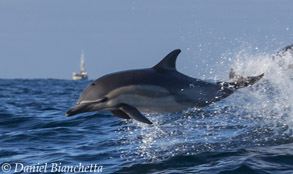 Long-beaked Common Dolphin, photo by Daniel Bianchetta