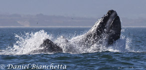 Lunge Feeding Humpback Whales a moment after the photo below, photo by Daniel Bianchetta