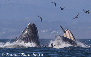 Lunge feeding Humpback Whales showing baleen, photo by Daniel Bianchetta
