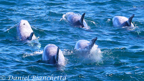 Risso's Dolphins, photo by Daniel Bianchetta