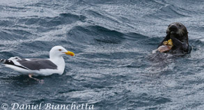 Southern Sea Otter with Western Gull, photo by Daniel Bianchetta