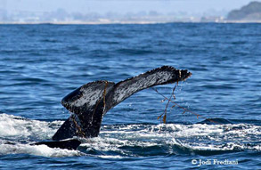 Young Humpback Whale playing in kelp, photo by Jodi Frediani
