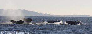 5 Gray Whales, photo by Daniel Bianchetta