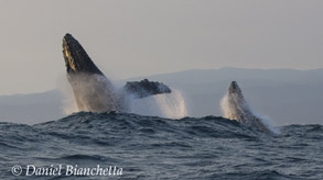 Breaching mother and calf Humpback Whales, photo by Daniel Bianchetta