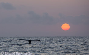 Humpback Whale tail and setting sun, photo by Daniel Bianchetta