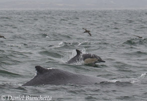 Humpback Whale and Long-beaked Common Dolphin, photo by Daniel Bianchetta