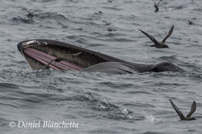 Humpback Whale lunge feeding, photo by Daniel Bianchetta