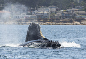 Humpback Whales lunge-feeding close to shore, photo by Daniel Bianchetta