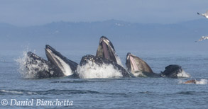 Humpback Whales lunge feeding, photo by Daniel Bianchetta