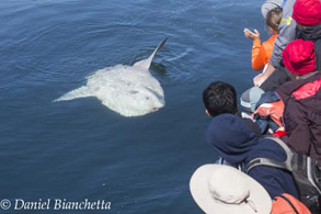 Large Mola Mola visiting boat, photo by Daniel Bianchetta