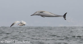 Long-beaked Common Dolphin and Elegant Tern, photo by Daniel Bianchetta