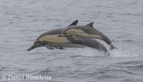 Long-beaked Common Dolphins mom and calf, photo by Daniel Bianchetta