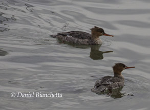 Red-breasted Mergansers, photo by Daniel Bianchetta