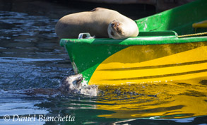 Sea Otter breaking mollusk on boat hull while Sea Lion snoozes, photo by Daniel Bianchetta