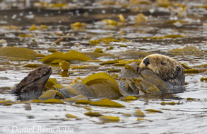 Southern Sea Otter resting in kelp, photo by Daniel Bianchetta