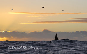Biggs (Transient) Killer Whale at sunset, photo by Daniel Bianchetta
