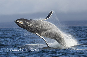 Breaching Humpback Whale and  Long-beaked Common Dolphin, photo by Daniel Bianchetta