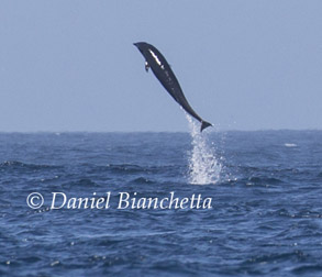 Breaching Northern Right Whale Dolphin, photo by Daniel Bianchetta