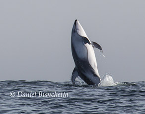 Breaching Pacific White-sided Dolphin, photo by Daniel Bianchetta