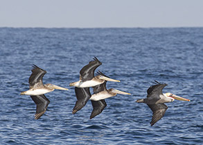 Brown Pelicans, photo by Daniel Bianchetta