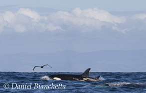 Female Killer Whale with calf, photo by Daniel Bianchetta