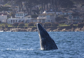 Gray Whale breaching off Pacific Grove, photo by Daniel Bianchetta