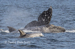 Gray Whales and Risso's Dolphin, photo by Daniel Bianchetta