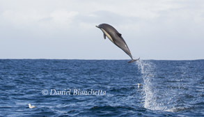 High jumping Long-beaked Common Dolphin, photo by Daniel Bianchetta